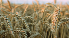 Wheat barley grain  agriculture Field 7 of 10 Stock Footage