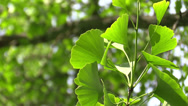 Stock Video Footage of Ginkgo leaves in the forest in the sunshine