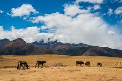 Cows peruvian andes  cuzco peru Stock Photos