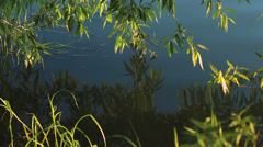 Willow leaves hanging down to the water Stock Footage