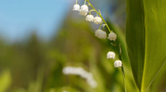 Lilly of the valley - stock footage
