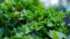 Climbing ornamental plant in the rain Stock Footage
