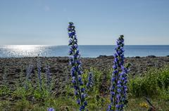 backlit blue flowers by a coast in front of glittering water - stock photo