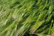 Stock Photo of background of a fresh and green sunlit barley field