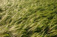 Stock Photo of background of sunlit barley corn field