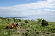 Stock Photo of cow watching the view at a calm coastal pastureland