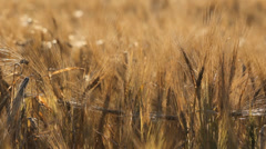 Dry wheat field on afternoon, golden cereals swaying in breeze Stock Footage
