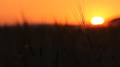 Gorgeous sunset above cereals land, straws swaying in wind breeze, sun down  Stock Footage
