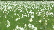 Stock Video Footage of Daffodils blossom field, flower swaying in spring wind 4K