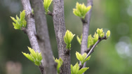 Stock Video Footage of Branch with young leaves buds, springtime revival 4K