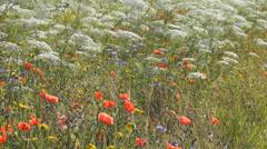 Wild flower meadow in the Old Deer Park, Richmond, Surrey, UK Stock Footage