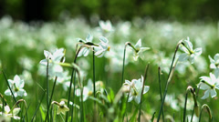 White daffodils swaying gently in the wind 4K - stock footage