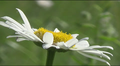 Bee and daisies Stock Footage