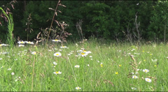 bee and daisies - stock footage