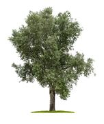 Isolated deciduous tree on a white background Stock Photos