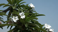 Stock Video Footage of Bush from white flowers at the coast of the Dead sea