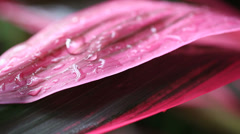 Raindrops macro on popular tropical plant Stock Footage