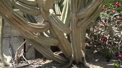 Cactus of enormous size Stock Footage