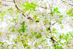 cherry tree in bloom all spring - stock photo