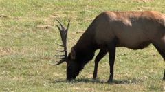 1440 Elks Grazing in a Prairie 4 - stock footage