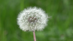 Fluffy white dandelion on green blur background, focus on dandelion Stock Footage