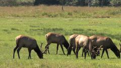 Elks Grazing in a Prairie Stock Footage