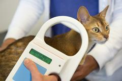 Checking for microchip implant by cat Stock Photos