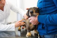 Having fear for the veterinarian Stock Photos