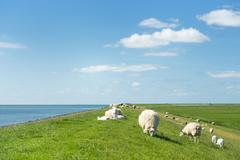 sheep at the dutch dike - stock photo