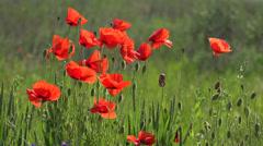 Punaiset unikot kukat, kesällä luonto maisema, 4K Arkistovideo