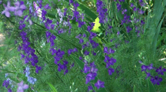 Blue flowers develop on wind - stock footage