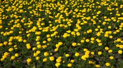Yellow marigolds. 4K. Stock Footage