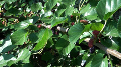 Mulberry with garden-stuffs growing on trees Stock Footage