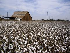 Cotton fields back home Stock Photos