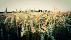 Barley grain wheat  agriculture Field 5 of 10 (2 sequences) Stock Footage
