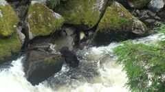 Black bears, one in cave Stock Footage