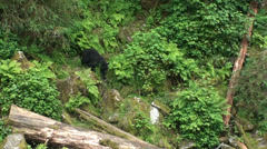 Black bears, returning to the creek Stock Footage