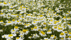 Beautiful camomile meadow on light wind 1080p - stock footage