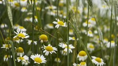 Camomile meadow scenery on light wind 1080p - stock footage