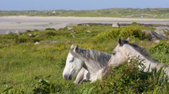 White Horses Resting in Field Wide Shot Stock Footage