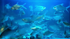 Lampam Sungai (River Carp) Freshwater Tank Stock Footage