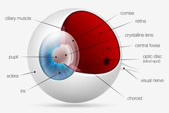 Internal structure of the human eye Stock Illustration