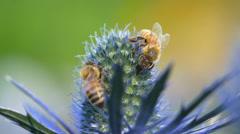 Bee, bees, honey bee, honeybee, flowers, 4K - stock footage