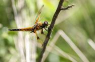 Stock Photo of Four-spotted Chaser - side view