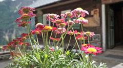 Alp flowers mountain hut Stock Footage