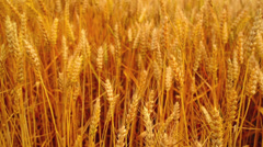 Wheat ears in the field. Agricultural cultivated wheat field. Stock Footage