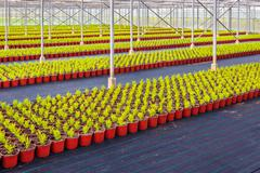 rows of conifer sprouts in a greenhouse - stock photo