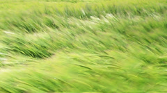 Green field plant moving on wind 1080p - stock footage