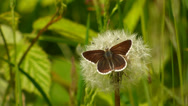 Stock Video Footage of Northern Brown Argus Butterfly