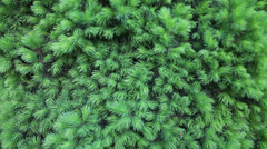 Branches of a fur-tree Stock Footage